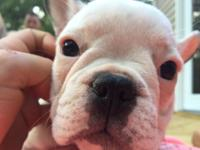 litter of akc frenchies now available. date of birth-
