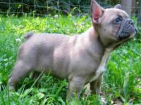 AKC French bull dog puppies, blue and blue fawn male