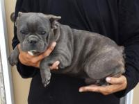WWW.OINKDADDY.COM French Bulldog Pups: 2 Year Health