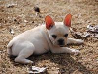 14 weeks old Akc french Bulldogs all males, utd on