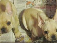 3 French Bulldog puppies.  AKC registered.  8