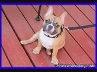 AKC French Bulldogs. Males and females available. Can