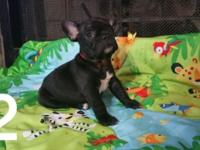 AKC French Bulldogs two males available. 2200 full AKC