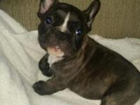 Ac french bulldog male brindle 7 weeks old. These pups