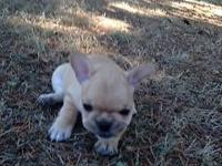 3 AKC registered french bulldogs 2 honey/cream pied one