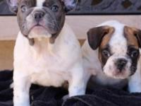 Rehoming akc French bulldog pups, blue female on left