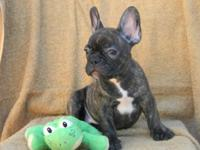 French bulldog puppies 8 weeks old & ready to go! We