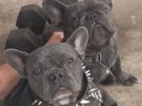 AKC blue french bulldog puppies :))) (Baby Blue