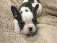 I have this beautiful Blue pied female frenchie. She's