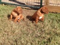AKC Dogue De Bordeaux (aka French Mastiff) puppies all