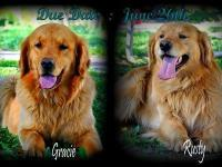 We will be having clutters of AKC Golden Retriever
