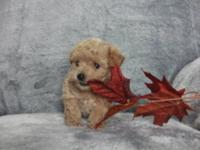Meet these lovable AKC registered toy Poodle puppies!!