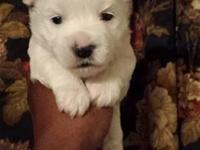 Meet Mr Polar Bear. He is Akc registered and is