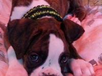 AKC Registered boxer puppies MALES AND FEMALES