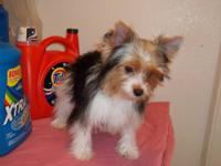 akc parti yorkie,she is a doll.all utd on shots