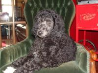 AKC standard poodle male puppy 12 wks old- ready to go