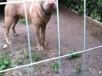 Hi..I Have a male Lilac Chinese Shar Pei for sale. His