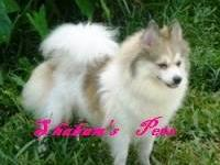 I have a Georgeous male black tan and white parti