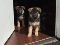 FOUR PUPPIES LEFT! (2 male, 2 female) Sire: SG-1 (US)