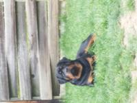 AKC German Surprior rottweiler Stud dog Puppy 7th