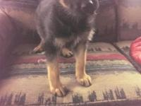AKC registered german/czech import puppies. Many SchH