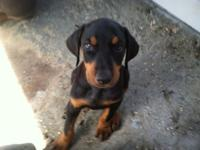 AKC BEAUTIFUL DOBERMAN PUPPIES TAILS DOCKED AND RAISED