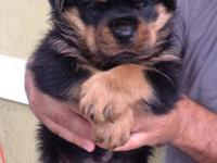 TOP OF THE LINE AKC GERMAN ROTTWEILERS, THEY WILL BE