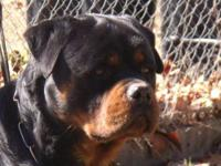 I have an AKC German Rottweiler adult male for sale.