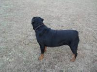 AKC Rottweiler(GERMAN) puppies. 8 wks old. Vet checked,