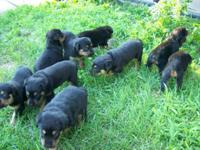 akc german rottweilers 7males 600.00 each females