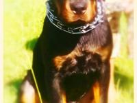 AKC GERMAN pure breed 6 month old male Rottweiler great
