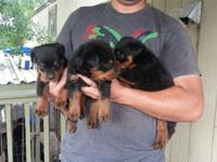 Akc German Rottweiler Puppies100% originals;great blood