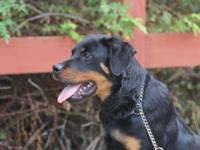 We have a male Rottweiler puppy for sale. He was born
