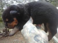 AKC GERMAN ROTTWEILER PUPPIES, BLOCKY HEADS, STOCKY,