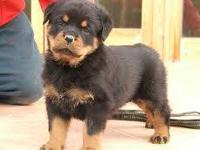 I have 2 German Rottweiler puppies, 1 male and 1 female