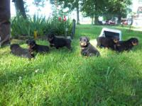 AKC registered rottweiler puppies (Decendants of Gil