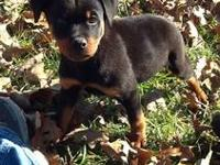 AKC German Rottweiler puppies. Males are priced at $600