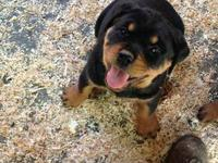 Hi I have 3 female AKC German Rottweiler puppies. They