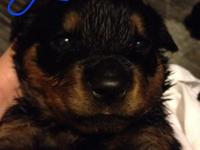 Blockhead AKC German Rottweiler Puppies. Fully