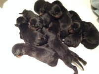 AKC German Rottweiler Puppies For Sale. Puppies were