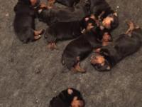 Hi, I am AKC German Rottweiler breeder, and I simply