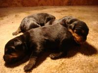 AKC Rottweiler Puppies. Born 9/2/15. Ready to go