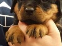 AKC German Rottweiler Puppies Champion and