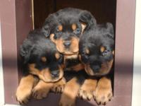 Taking deposits for German Rottweiler pups. Born