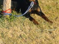 Castle Rock Rottweiler's presents leading and final