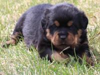 Taking Deposits for GERMAN Rottweiler puppies. Both
