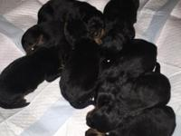 AKC German Rottweiler Puppies for Sale! Merry Christmas