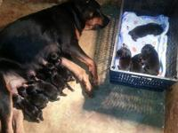 AKC German Rottweiler puppies. Pups will have tails