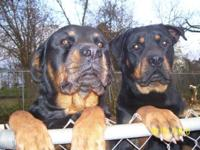 German rotties will certainly be prepared on 5/16/14.