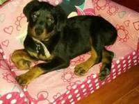 We had a very nice litter of Rottweiler puppies that